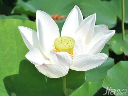 莲花的诗句鉴赏 荷花有关诗句